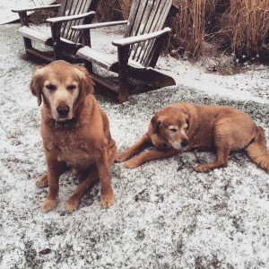 So happy he got one last snowfall last week. My Canadian Goldens love the snow.
